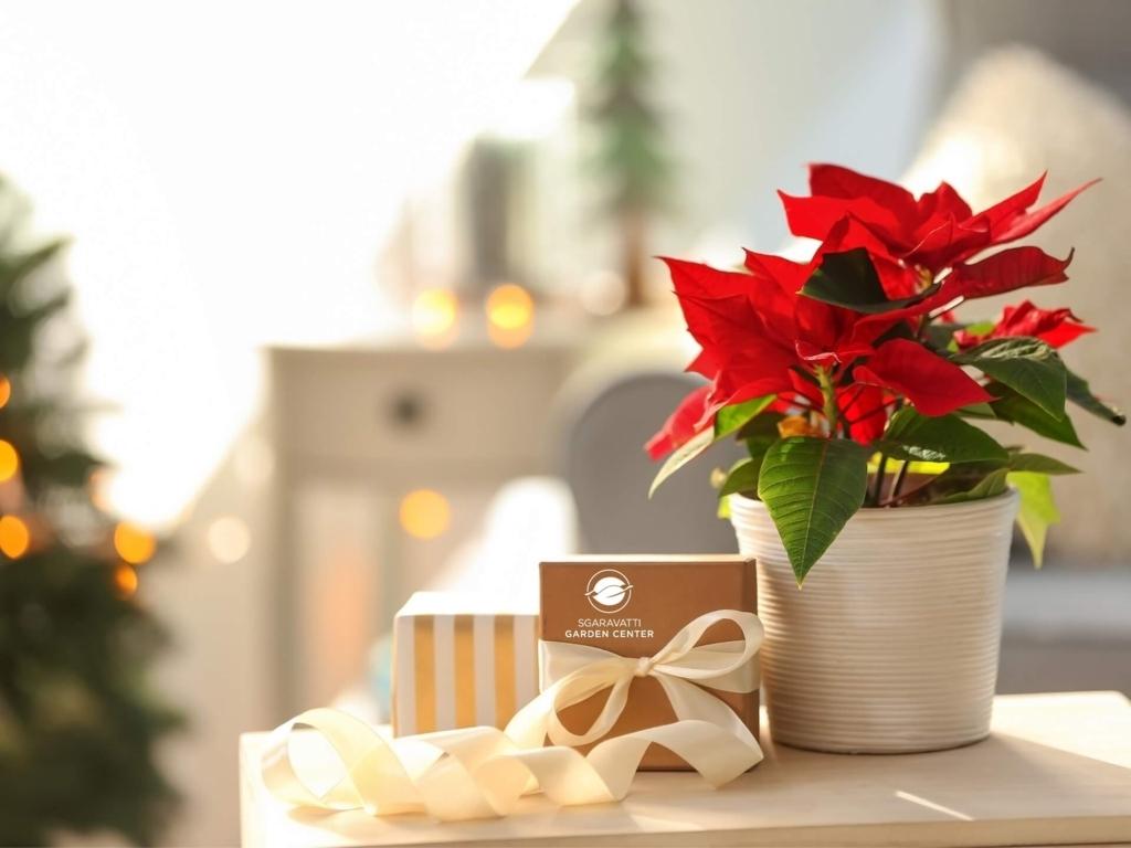 Stelle Di Natale Sgaravatti Group
