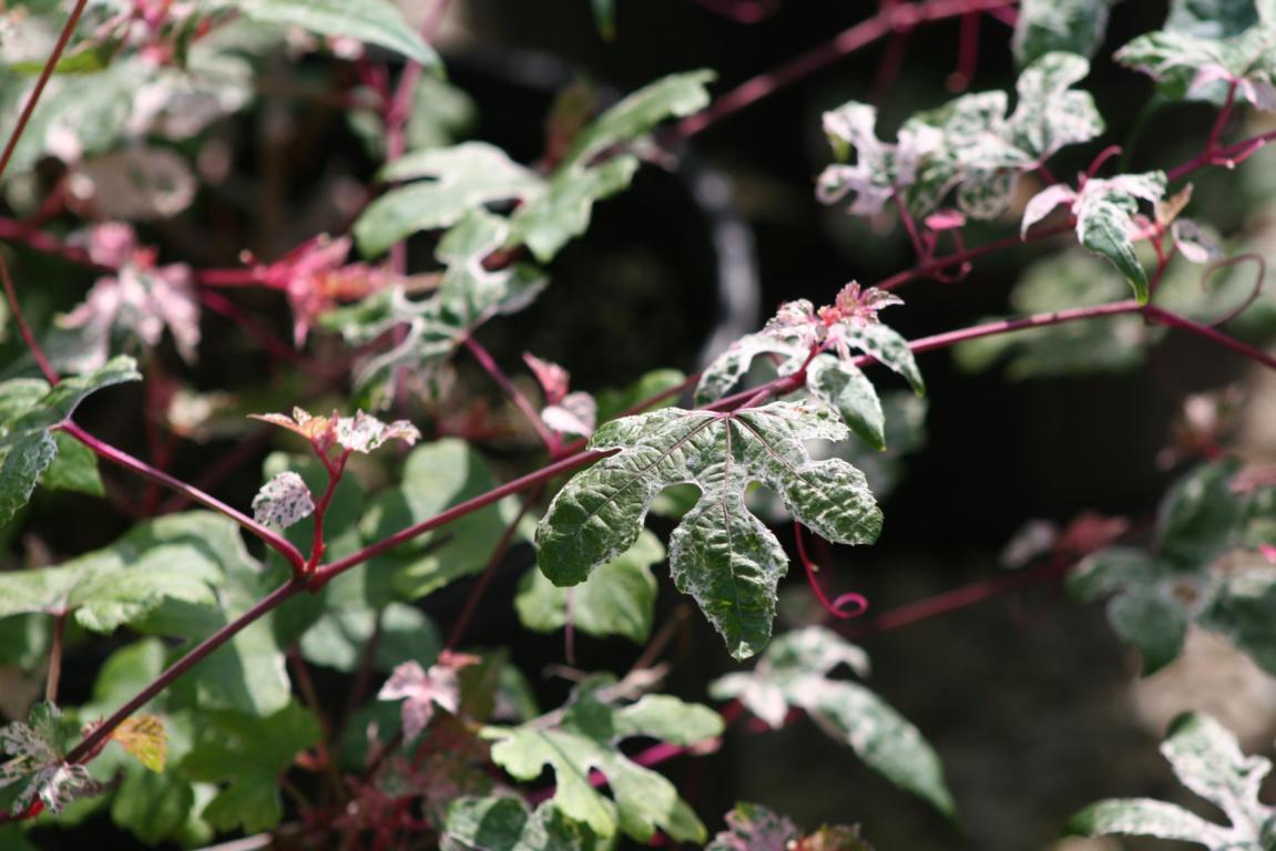 Ampelopsis brevi pedunculata Elegans