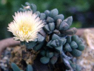 Corpuscolaria brittiniae