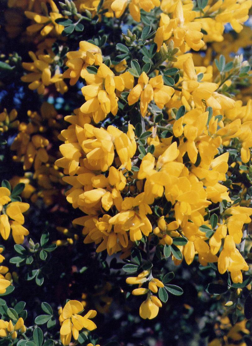 Cytisus porlock
