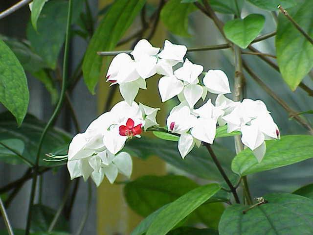 Clerodendrum splendens