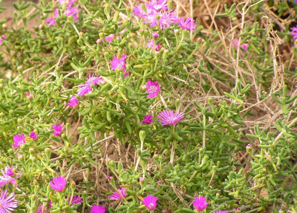 Drosanthemum hispida