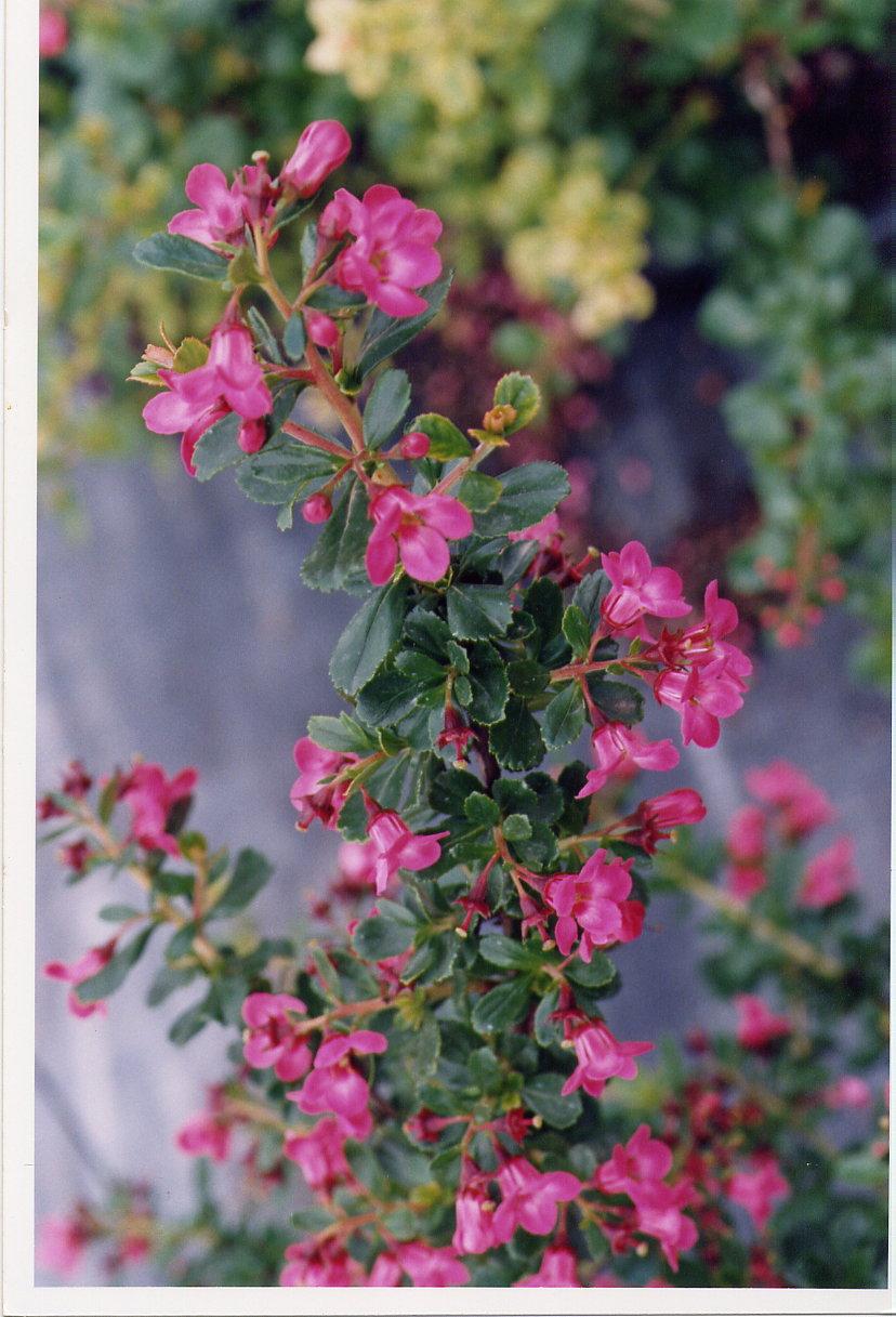 Escallonia x lanlyensis 'Pride of donard'