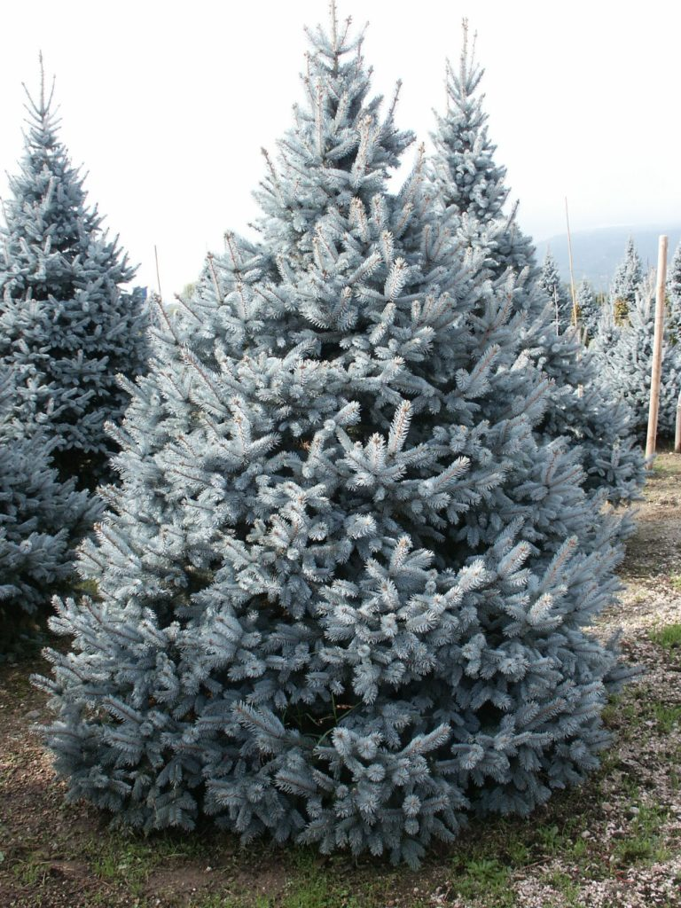 Picea