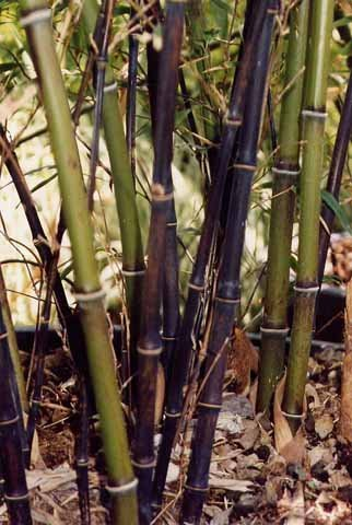 Bambù falaschi e graminacee