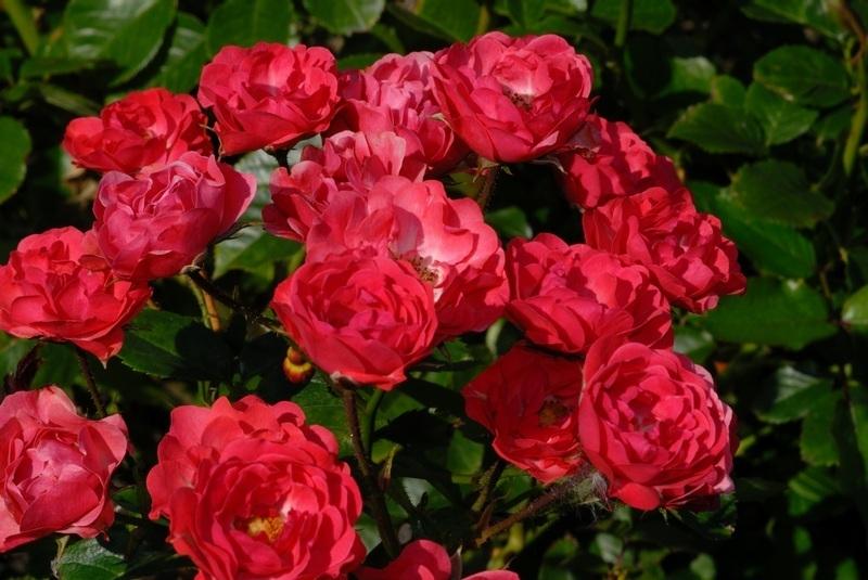 Rose Polyantha