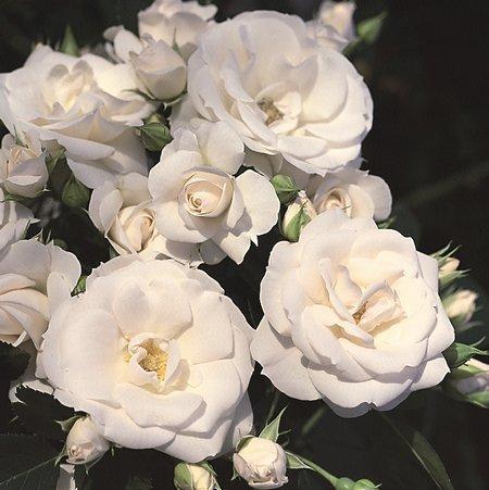 Rose Tappezzanti