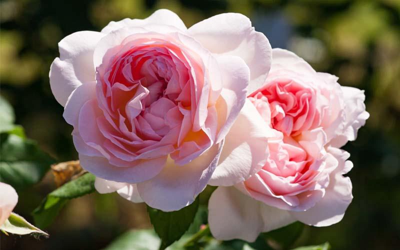 Mostramercato delle rose